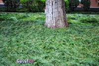 Деревья в Гурзуфе._4