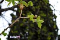 Деревья в Гурзуфе._5