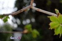 Деревья в Гурзуфе._6