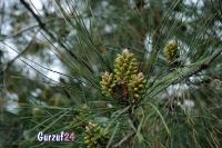 Деревья в Гурзуфе._7